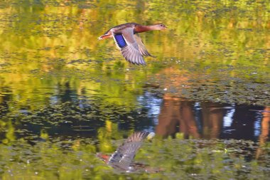 Mallard in flight above the mirror water surface of the pond.