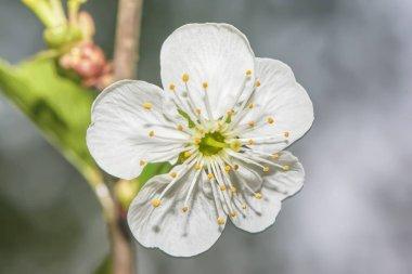 White flower cherry blossom closeup.
