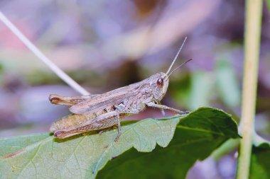 Grasshopper on a leaf.