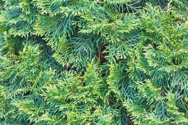 Background - tree branches arborvitae. stock vector