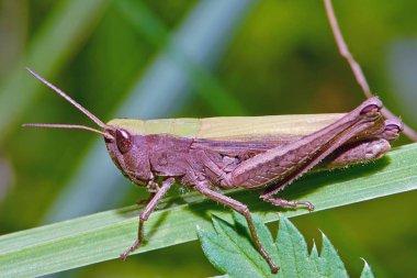 Grasshopper in the grass close-up.