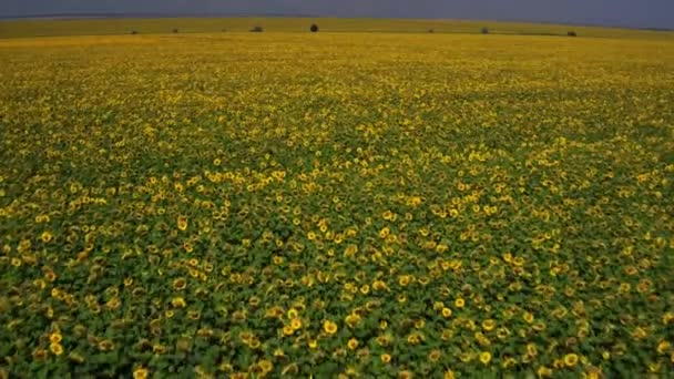 Aerial shooting field of sunflowers in summer. Agriculture farming in Ukraine, Europe. Ukrainian village, ukrainian nature