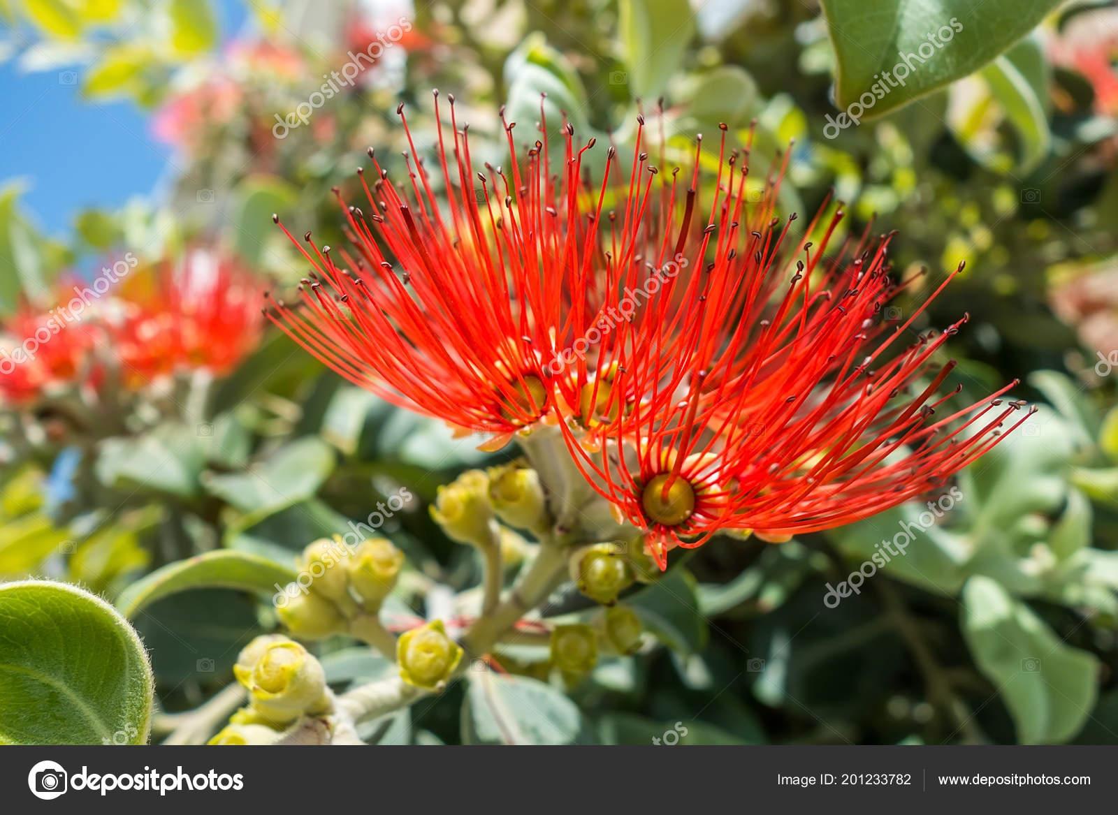 Persian Silk Tree Flowers Stock Photo Odze 201233782