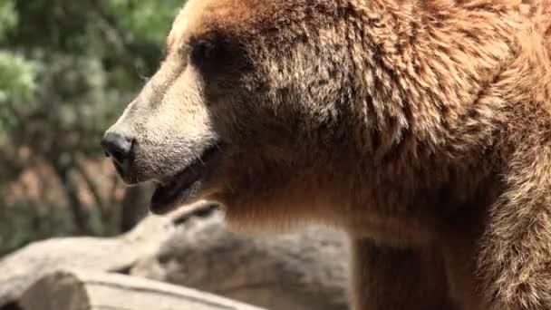 Divoký medvěd hnědý