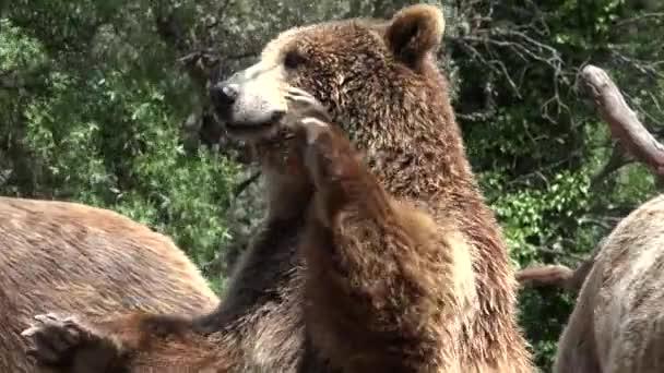 A vadon élő barna medve