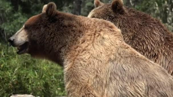 A Wild Brown Bear