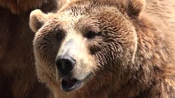 Medvěd hnědý v divočině