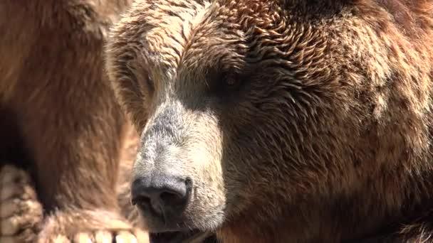 Velký divoký medvěd hnědý