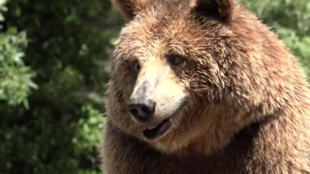 Wild Brown Bear In Wilderness