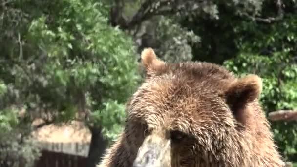 Velký divoký medvěd hnědý v divočině