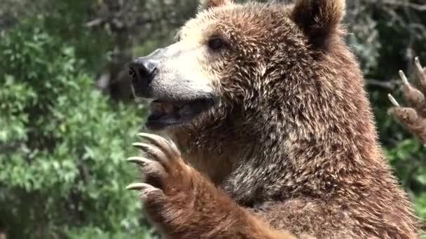 Brown Bear And Wilderness