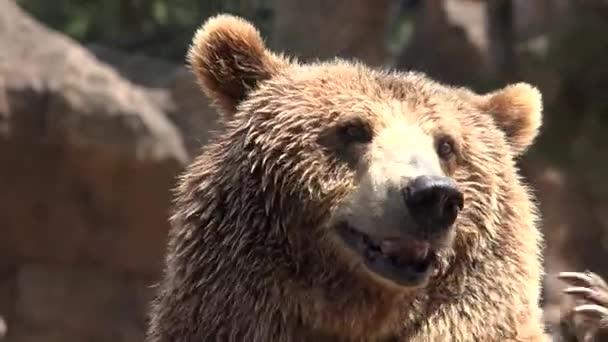 medvěd hnědý žebrají o jídlo