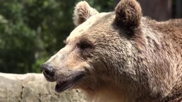 Vyčerpaná medvěd hnědý v přírodě