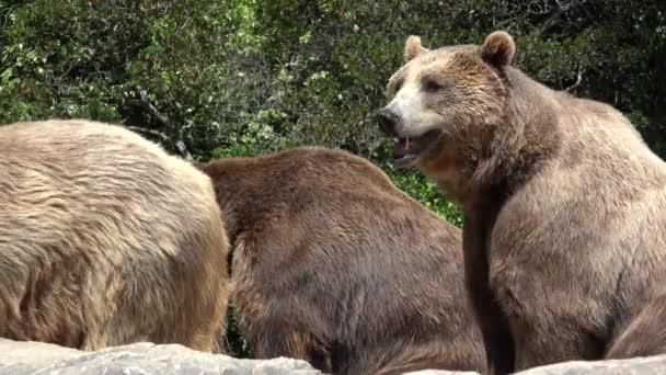 Wild Brown Bears In Wilderness