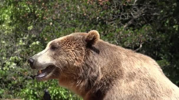 Wild Brown Bear Panting In Wilderness