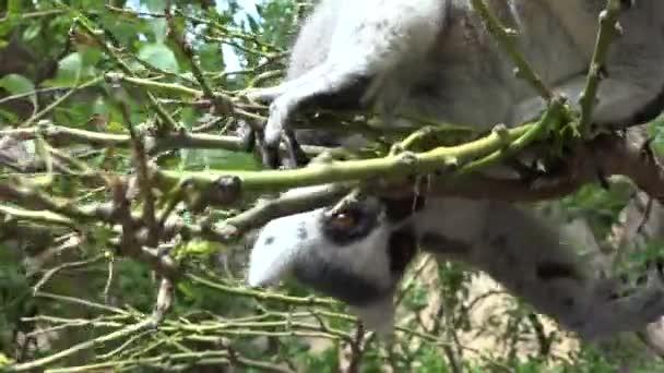 A Lemur In Tree