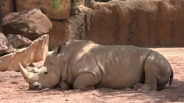 Rhino Wild Animal Resting