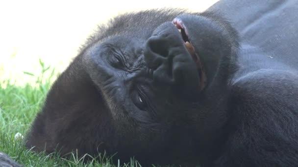 Próbáltam álmos ásító gorilla
