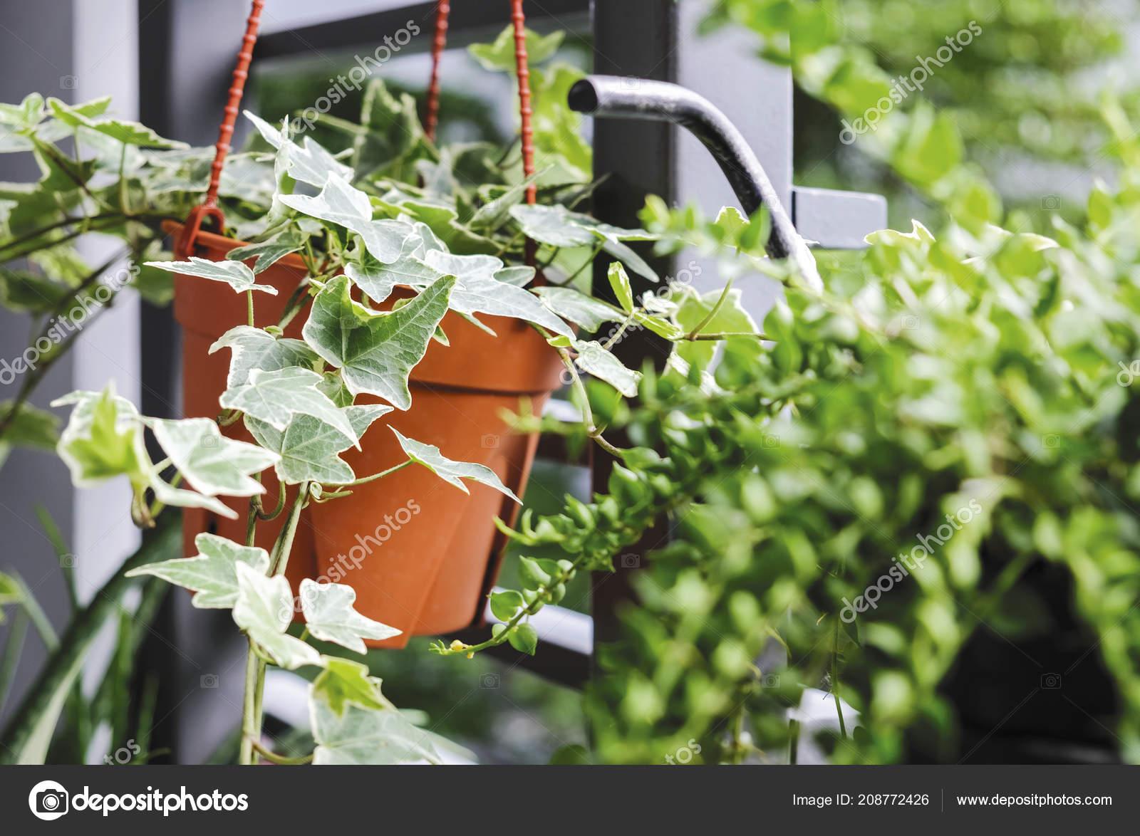 Piccolo Giardino Sul Balcone : Edera inglese hedera helix pot fiore nel piccolo giardino sul u2014 foto
