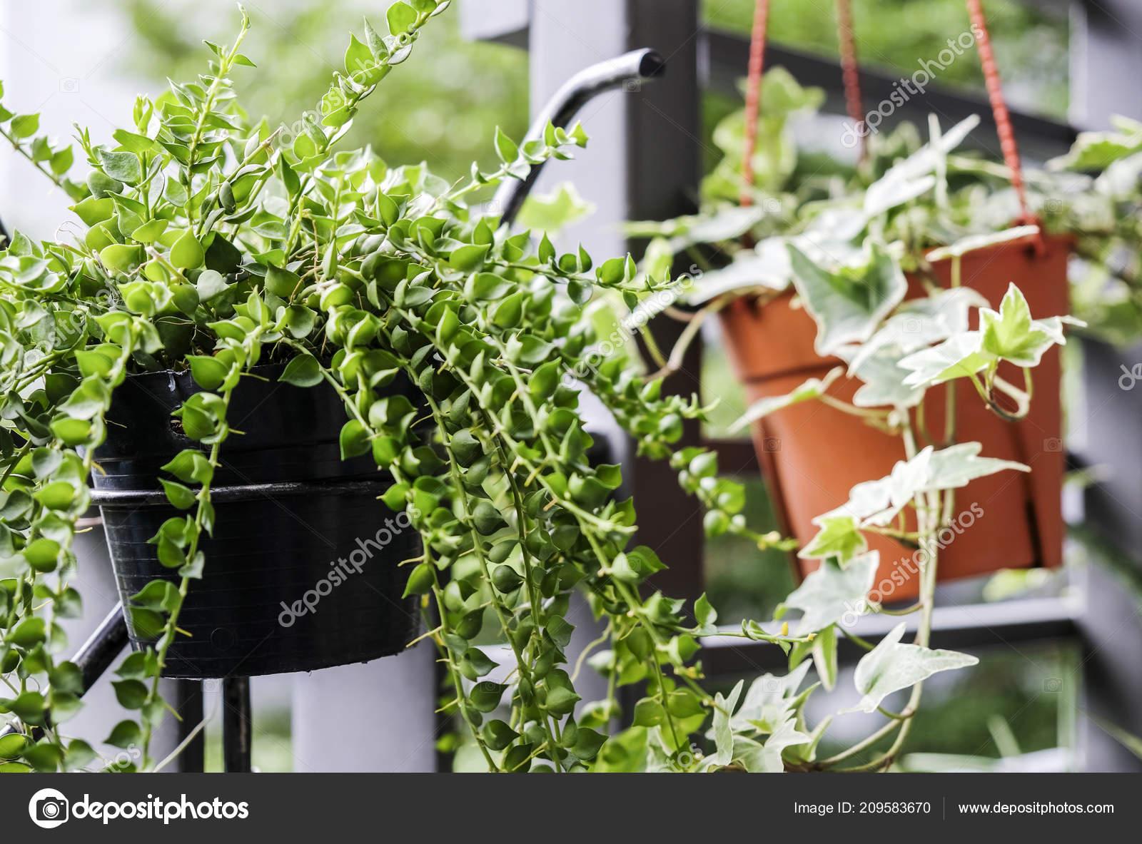 Piccolo Giardino Sul Balcone : Milioni euro dei cuori dave edera pot fiore nel piccolo u2014 foto stock