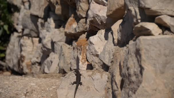 Small lizard gecko spotted on rock exploring area. Curious reptilian animal.