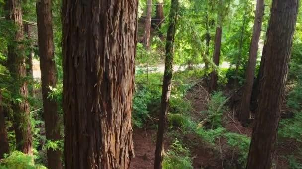 Aerial: Close Up Rising Shot of Redwood Tree