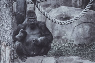 a big male gorilla sits and looks at his territory