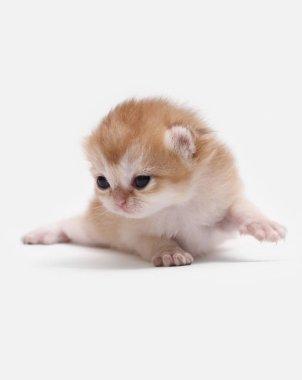 British Shorthair BRI black golden shaded ny 11 kitten on a white background