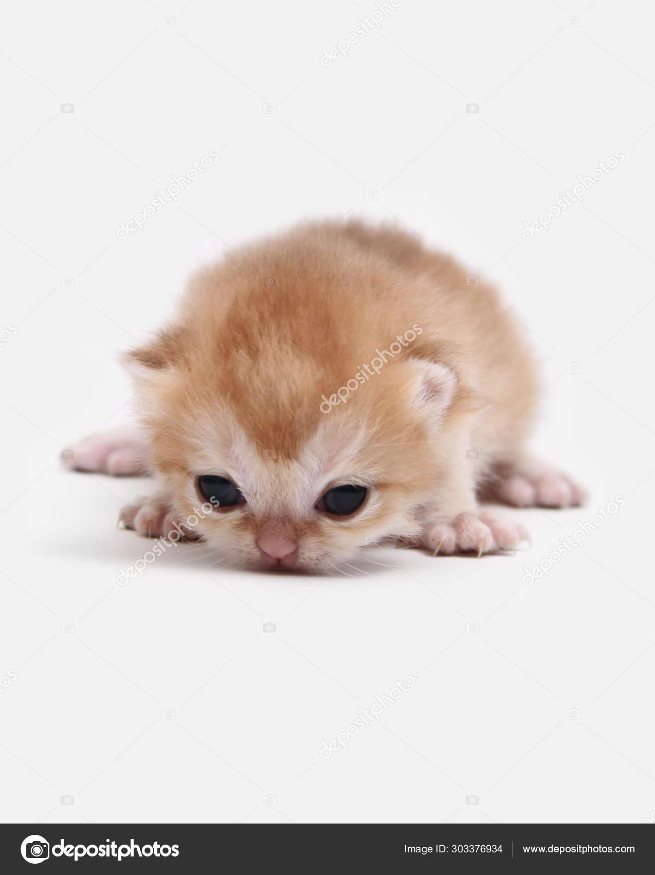 British Shorthair Bri Black Golden Shaded Kitten White Background Stock Photo C Mirencats 303376934