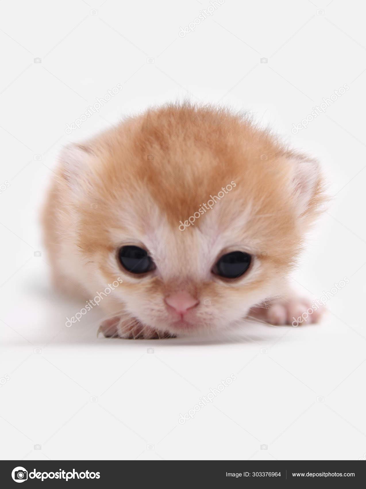 British Shorthair Bri Black Golden Shaded Kitten White Background Stock Photo C Mirencats 303376964