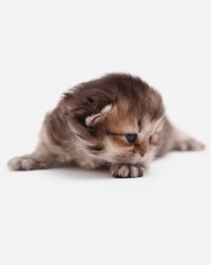 British Longhair BLH black golden ticked ny 25 kitten on a white background