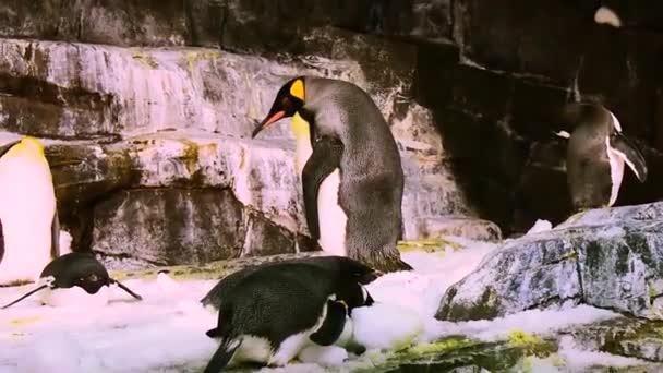 Orlando, Florida. 25. březen 2019 Corpulent císař tučňák, chození mezi ostatními penguiny v parku SeaWorld