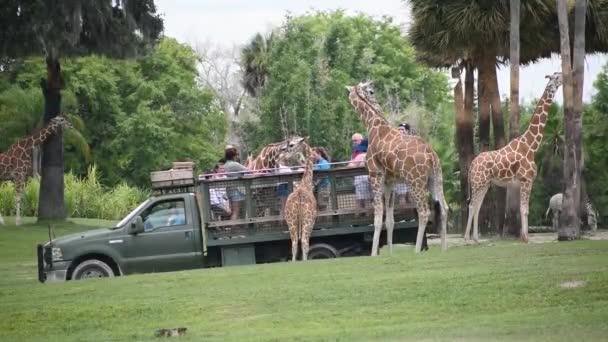 Tampa Bay , Florida. September 25, 2019 People giving lettuce leaves to giraffe in Serengeti Safari 1