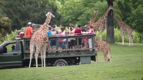 Tampa Bay , Florida. September 25, 2019 People giving lettuce leaves to giraffe in Serengeti Safari 6