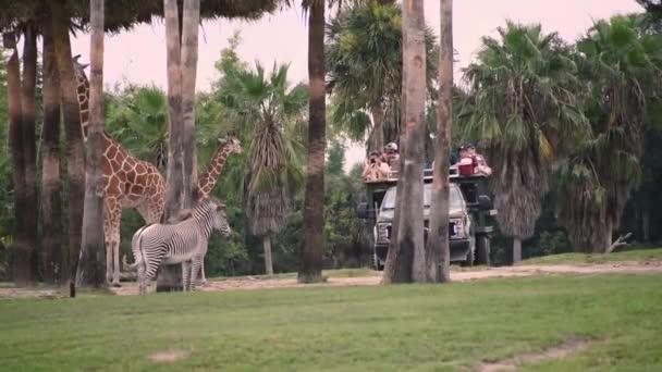 Tampa Bay , Florida. September 25, 2019 .Person taking picture of giraffes and zebra in Safari Serengeti.