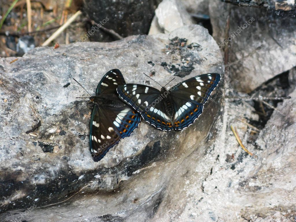 beautiful butterflies on stones in the natural park Olenyi brooks in the Sverdlovsk region