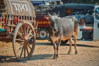 21/02/2020 Mandalay, Myanmar (Burma) buffalo taxi near White Hsinbyume Pagoda (Mya Thein Dan pagoda) in Mingun on Western bank of Irrawaddy river