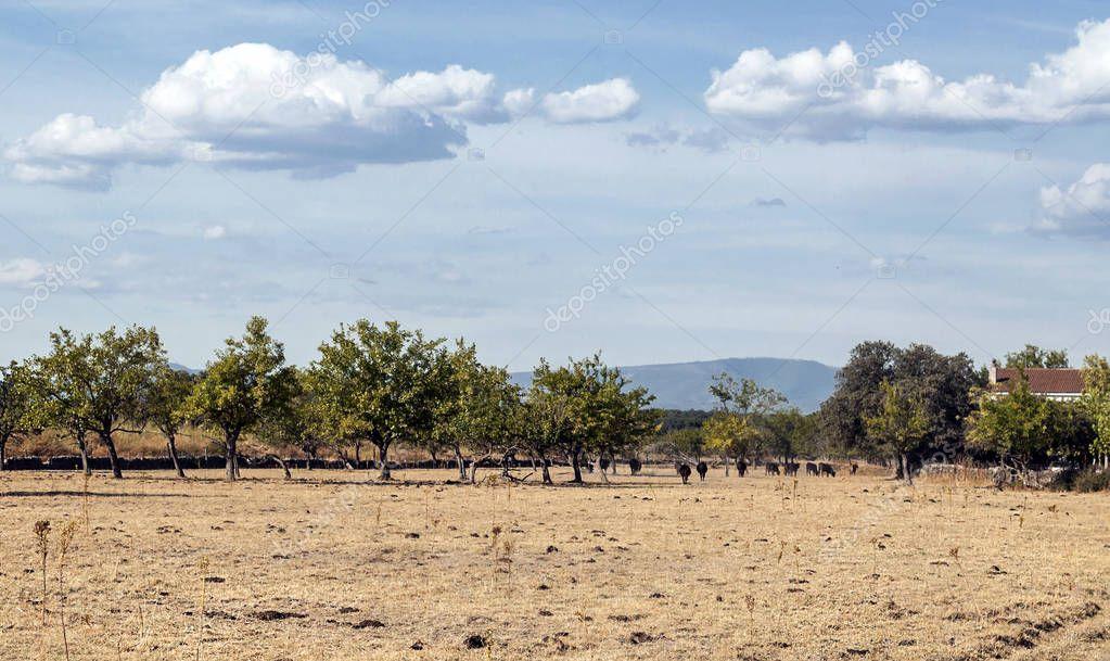 Bulls in the fields of Spain