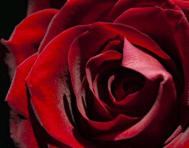 """Картина, постер, плакат, фотообои """"бархат из бутона красной розы """", артикул 381712154"""