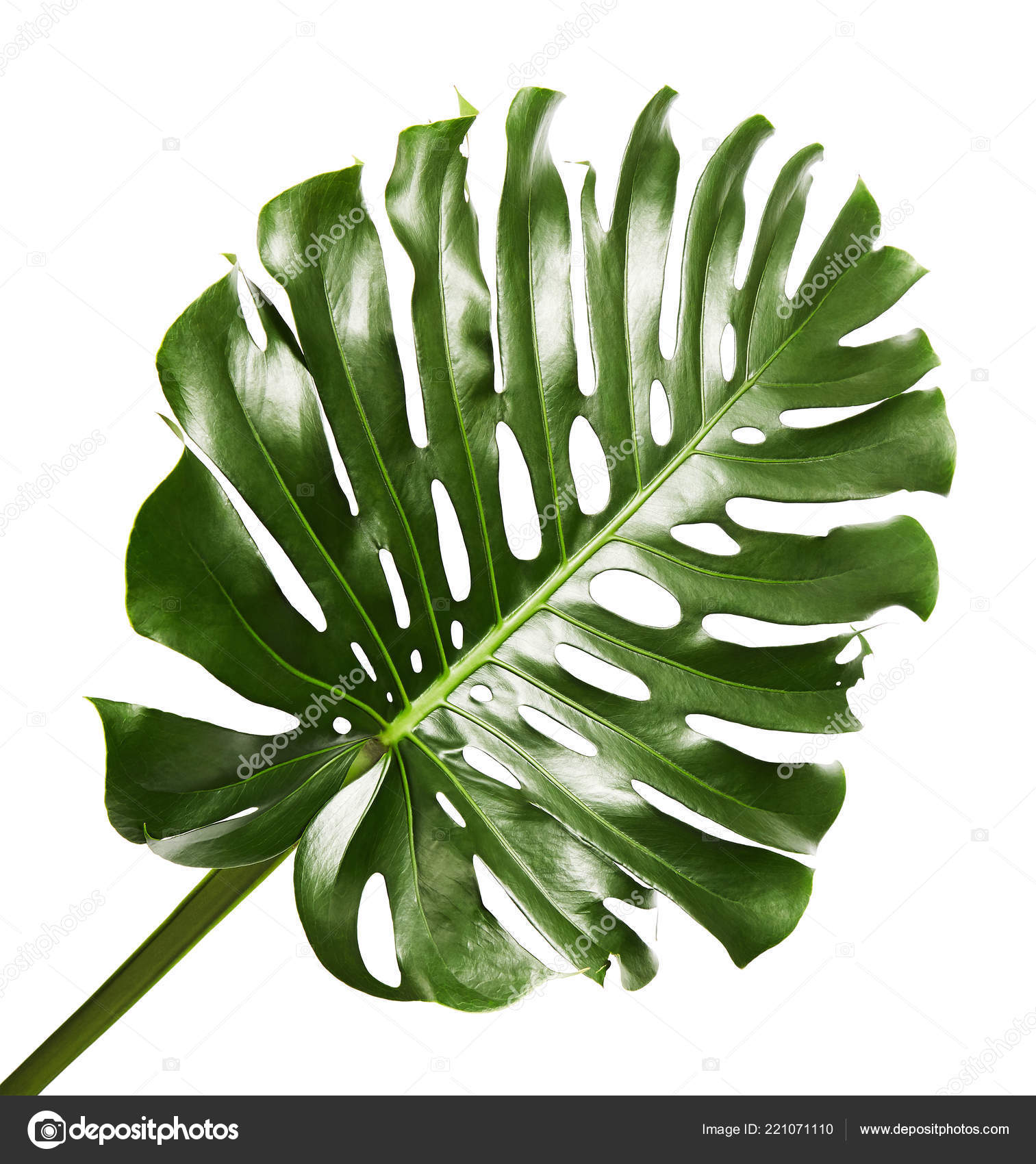 Monstera Deliciosa Leaf Swiss Cheese Plant Tropical Foliage Isolated White Stock Photo Image By C Dewins 221071110