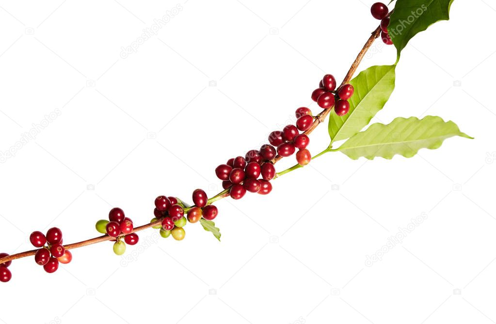 Red coffee beans on a branch of coffea tree with leaves, ripe and unripe coffee beans isolated on white background with clipping path