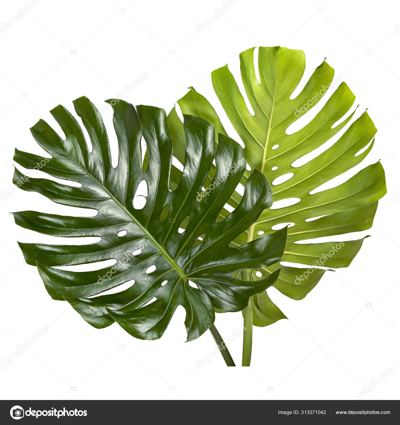 Monstera Deliciosa Leaf Swiss Cheese Plant Tropical Leaves Isolated White Stock Photo Image By C Dewins 313371042