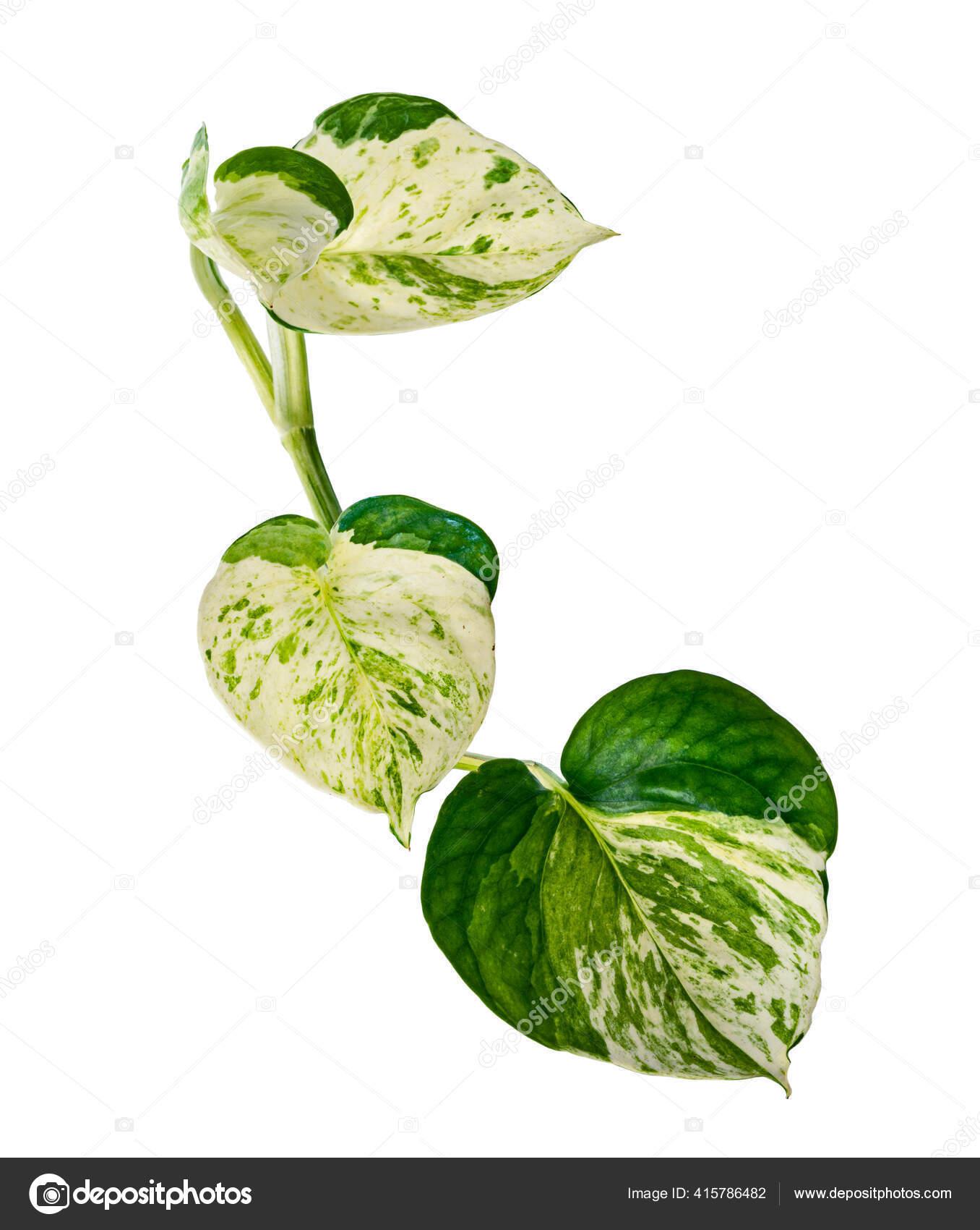 Planta Manjula Pothos Folhas Epipremnum Aureum Folhas Forma Coracao Isoladas Stock Photo C Dewins 415786482