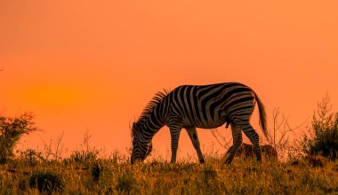 Male Burchell's zebra feeding on a ridge isolated against the dawn light in the African wilderness image with copy space in landscape format