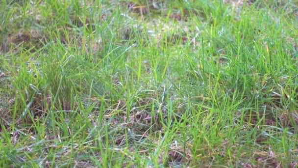 Első zöld fű, pázsit, kerti.