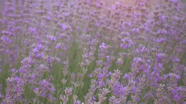 Levandulová pole v krásný večer, Provence, Francie.