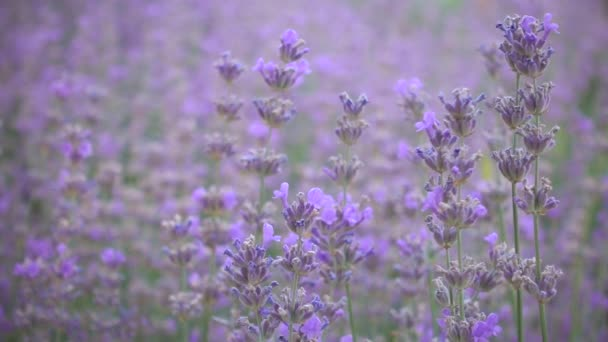 Květy levandule pomalu houpat se ve větru, zpomalené. Provence, Francie.