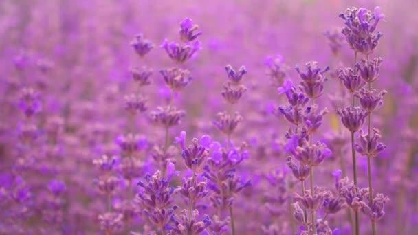 Levandulová pole, krásná nabídka levandulové květy.