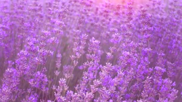 Zpomalené levandulová pole, krásná nabídka květy levandule. 120fps.