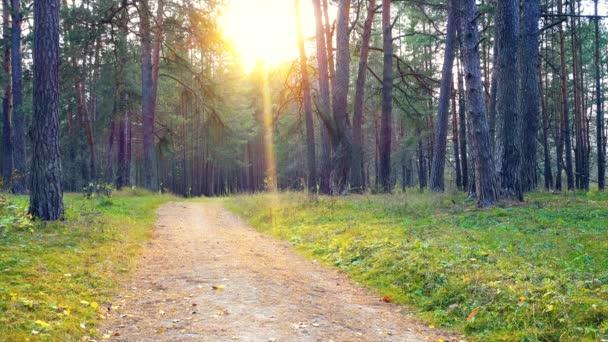 Krásné klidné ráno v borovém lese, malé hnutí trávy a stromů.